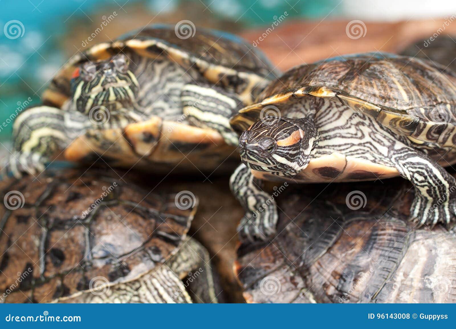 美丽的镶边乌龟