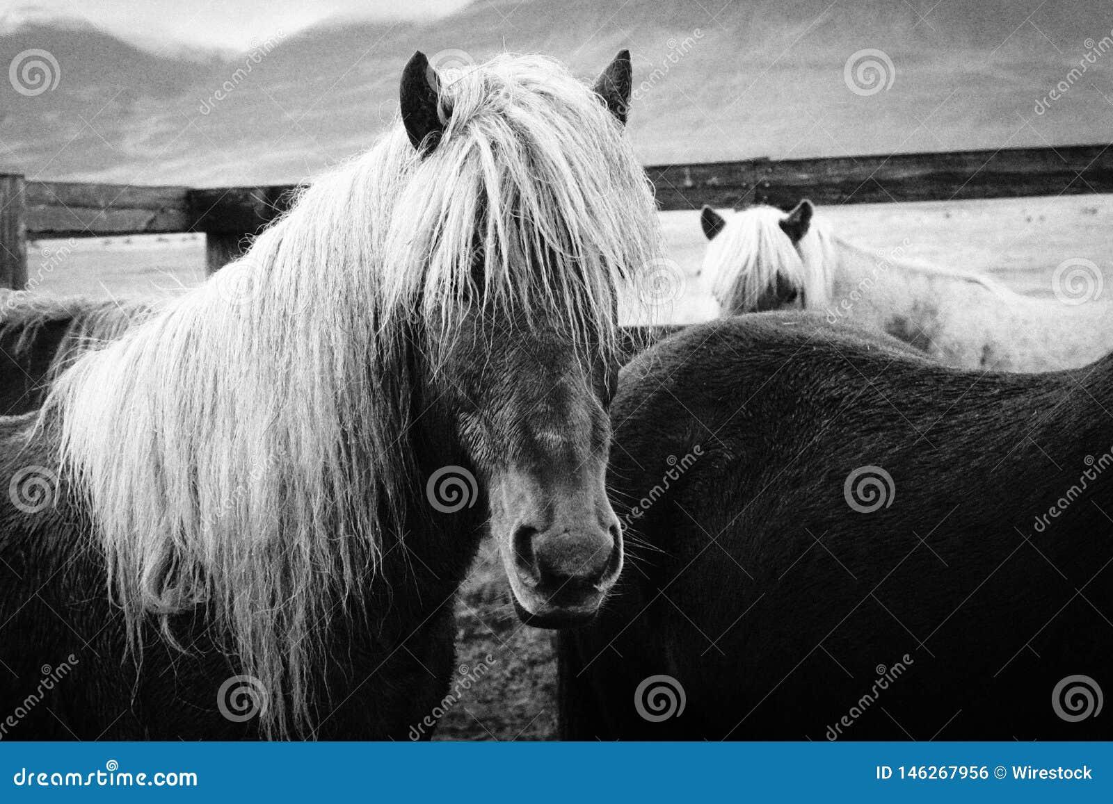 美丽的长发野马近景
