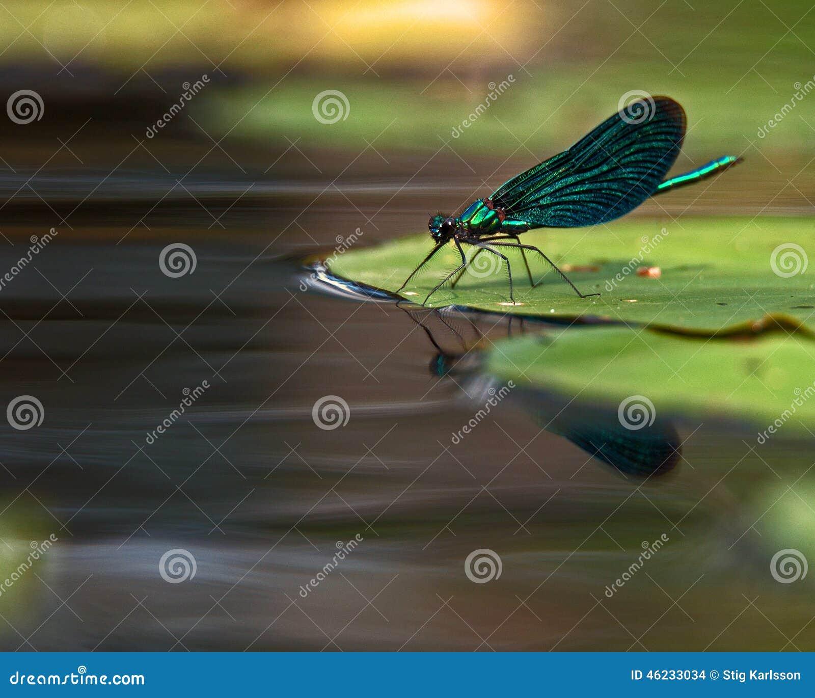 美丽的闺女, Calopteryx处女座