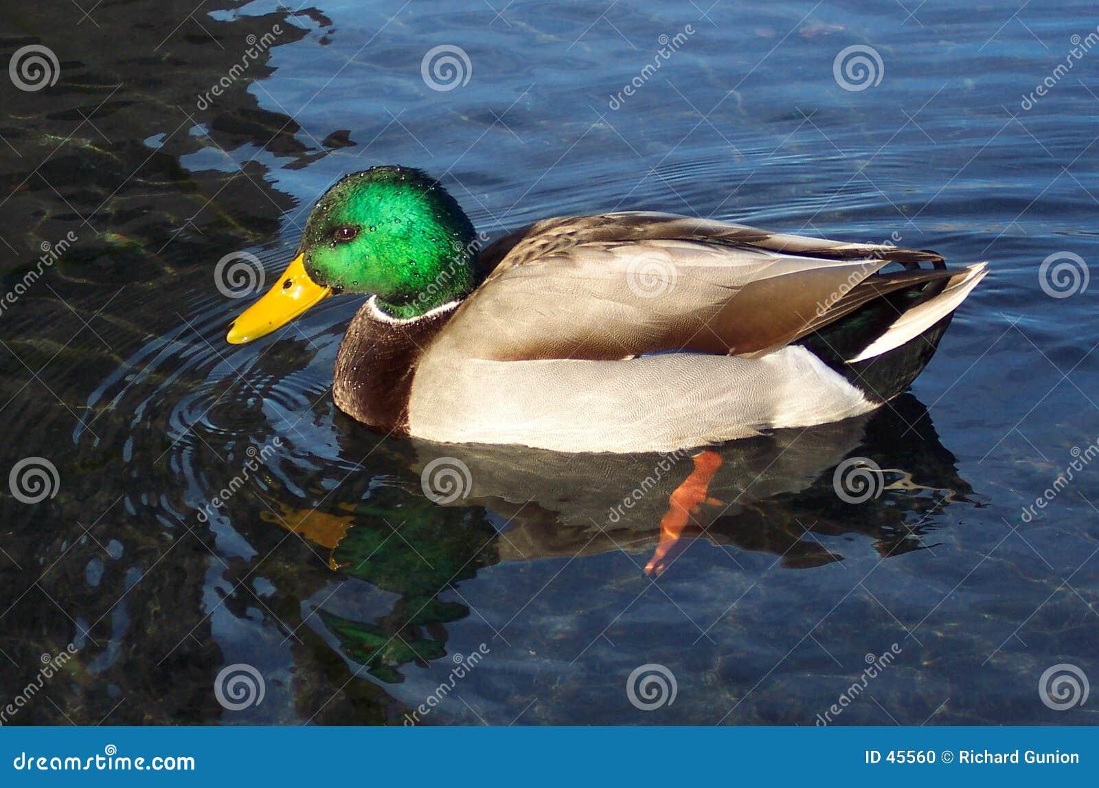 美丽的雄鸭野鸭