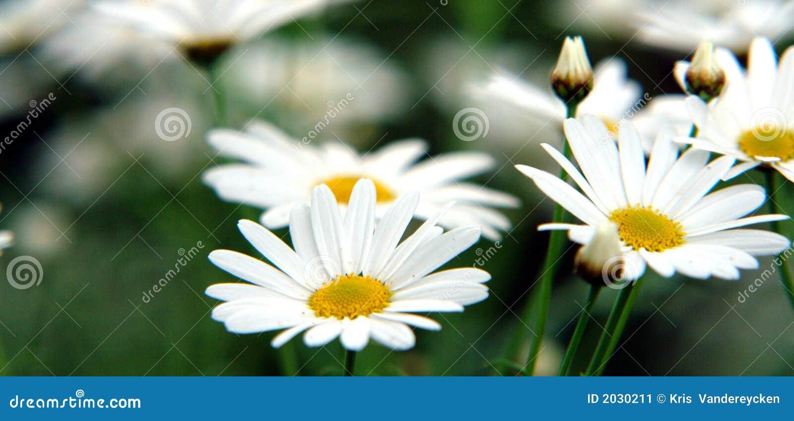 美丽的雏菊