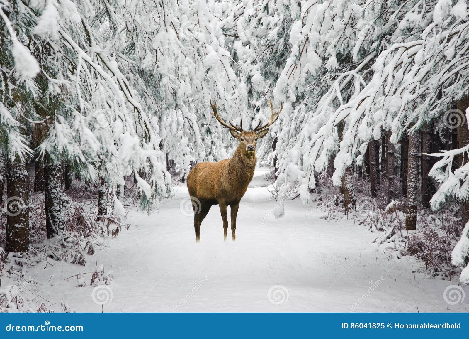 美丽的马鹿雄鹿在积雪的欢乐季节冬天fo