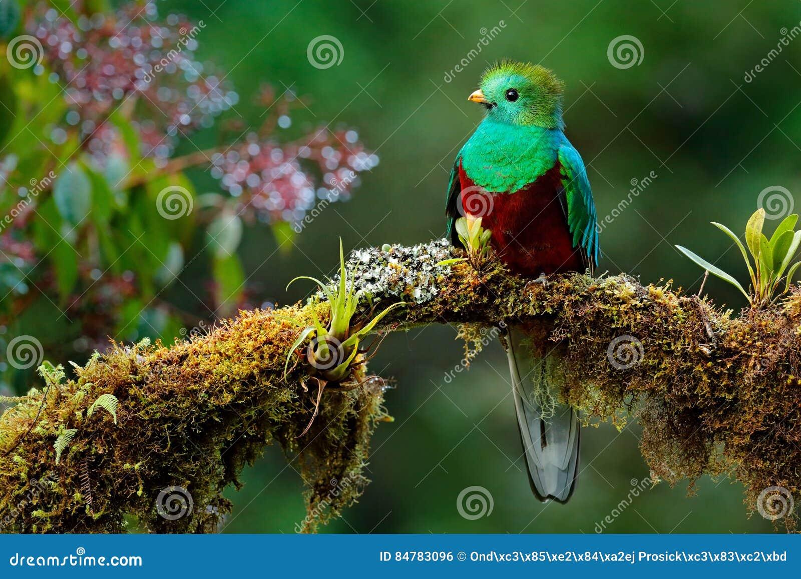 美丽的鸟在自然回归线栖所 灿烂的格查尔, Pharomachrus mocinno, Savegre在哥斯达黎加,有绿色森林backg的