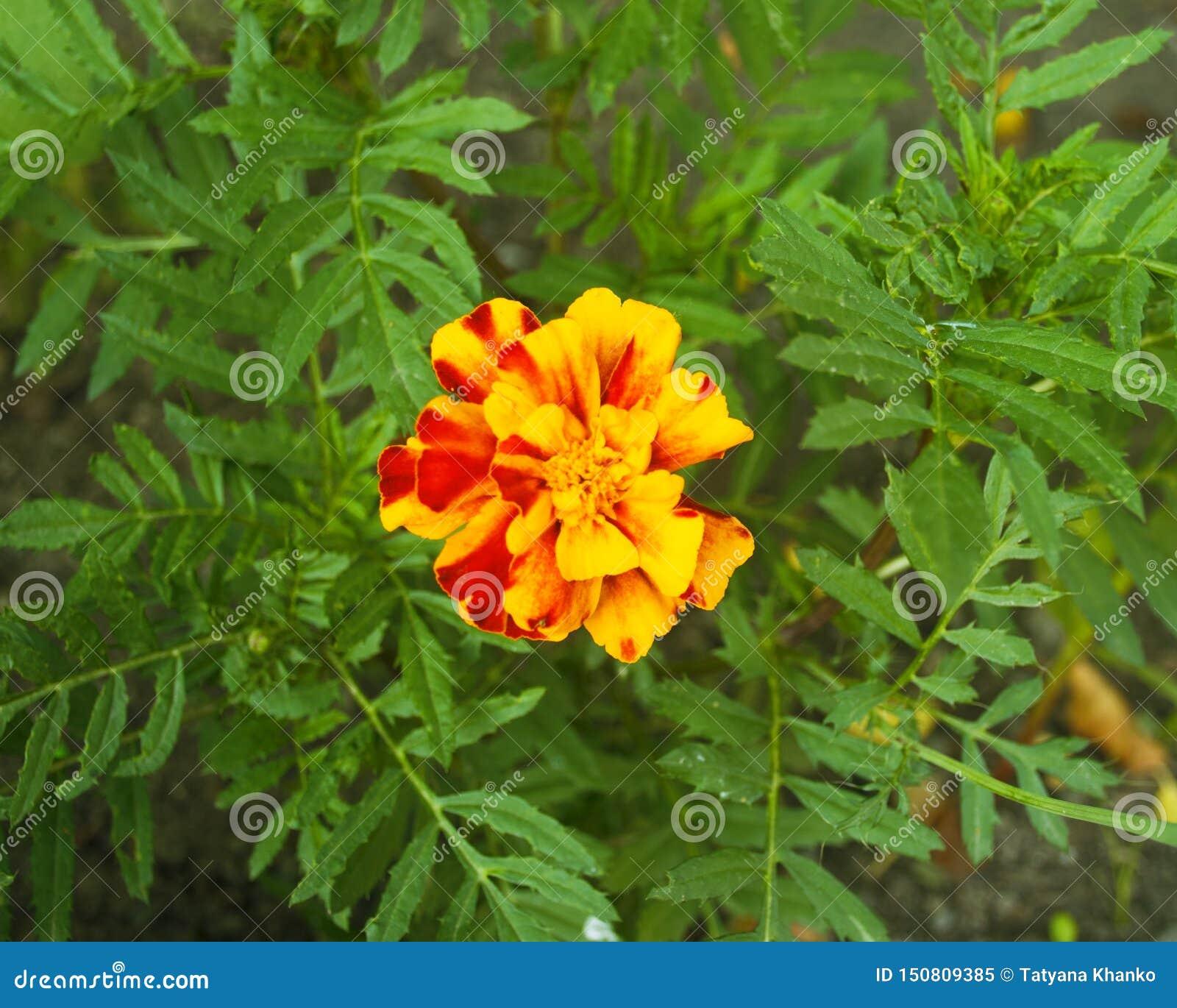 美丽的黄色花 万寿菊 庭院的花