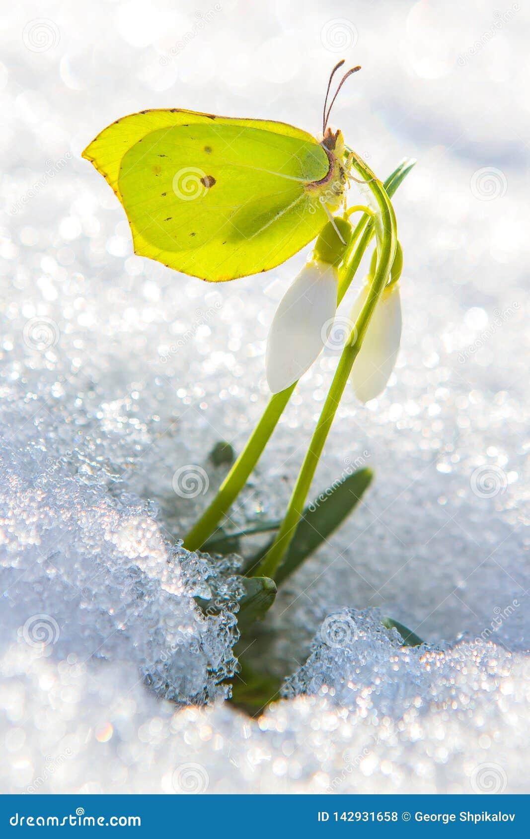 美丽的黄色蝴蝶坐来自真正的雪的第一朵春天snowdrop花
