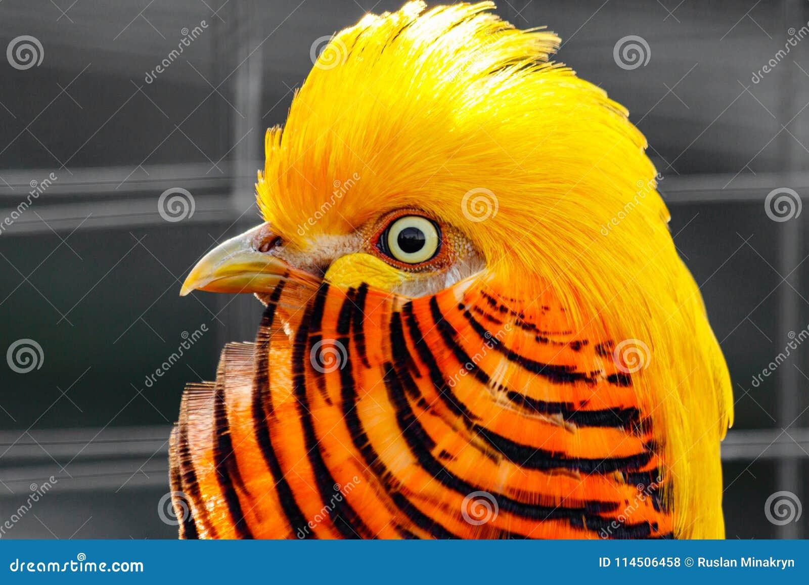 黄色图成人_美丽的黄色锦鸡. 图象, beautifuler.