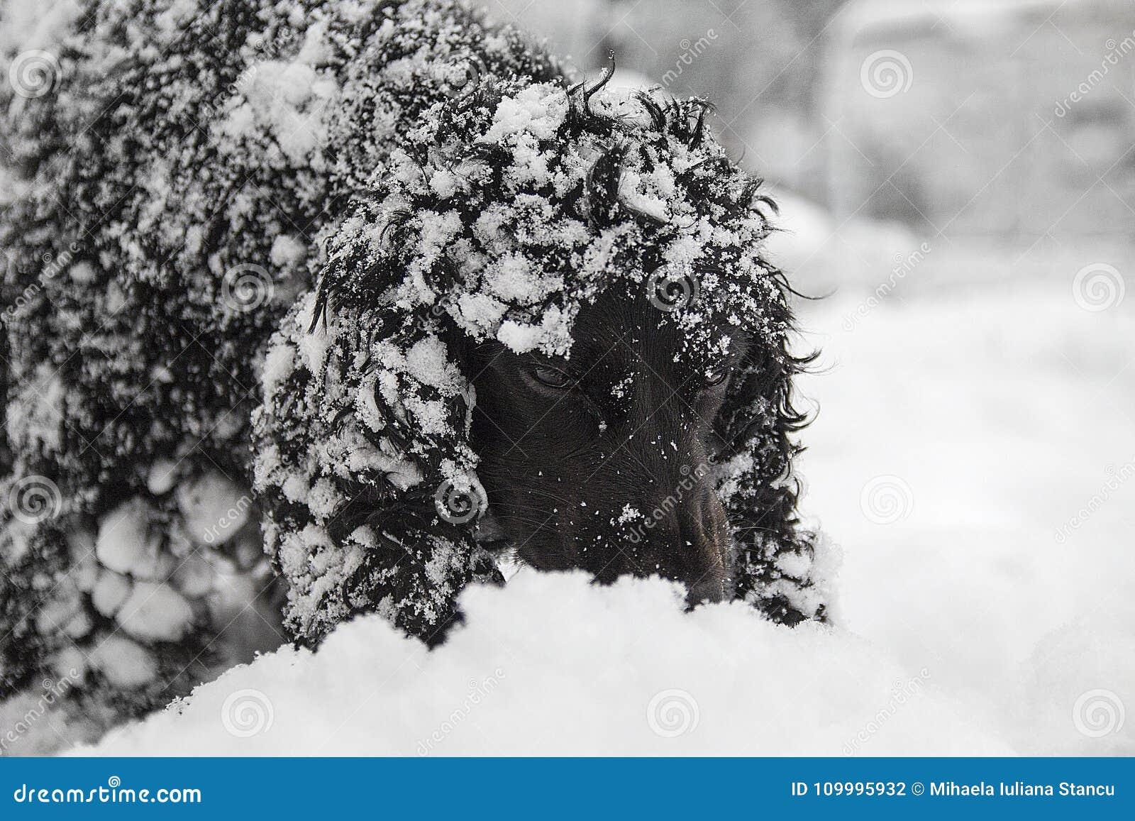 美丽的黑幼小猎犬,使用在雪的狗