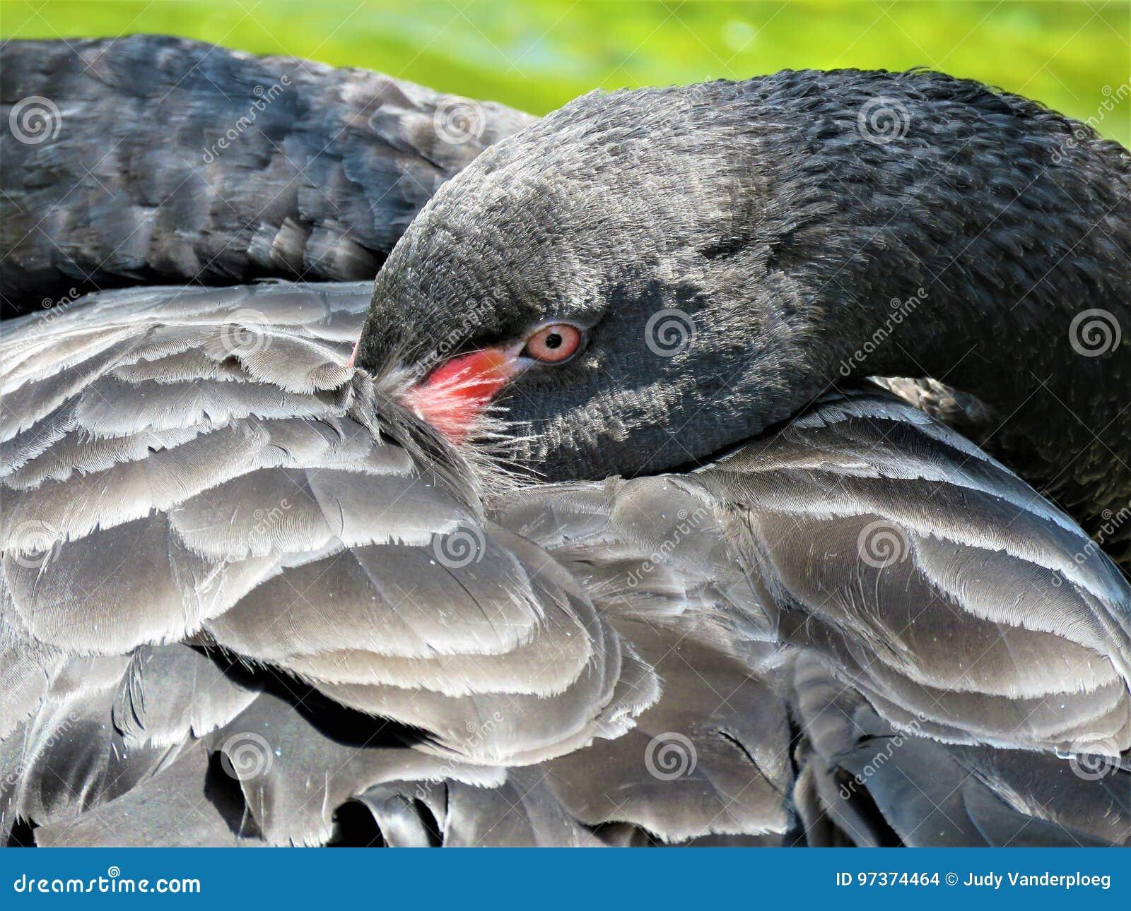美丽的黑天鹅