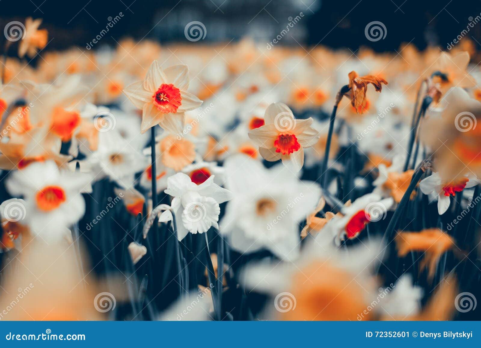 美丽的黄水仙 开花的花在著名Keukenhof公园