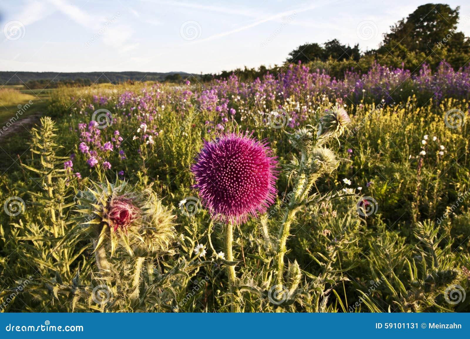 美丽的紫罗兰色花