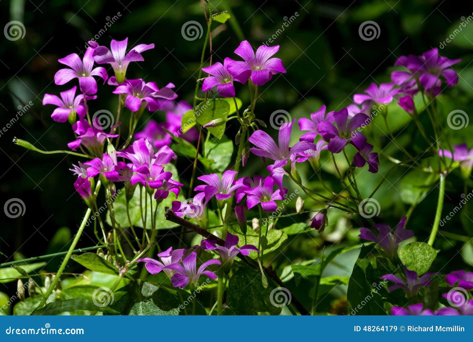 美丽的紫罗兰色酢浆草在森林里