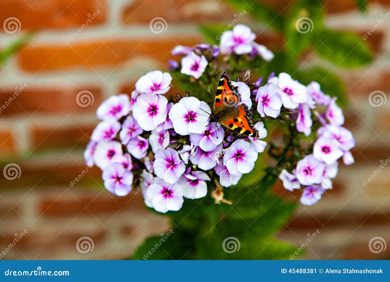 美丽的蝴蝶坐白色福禄考
