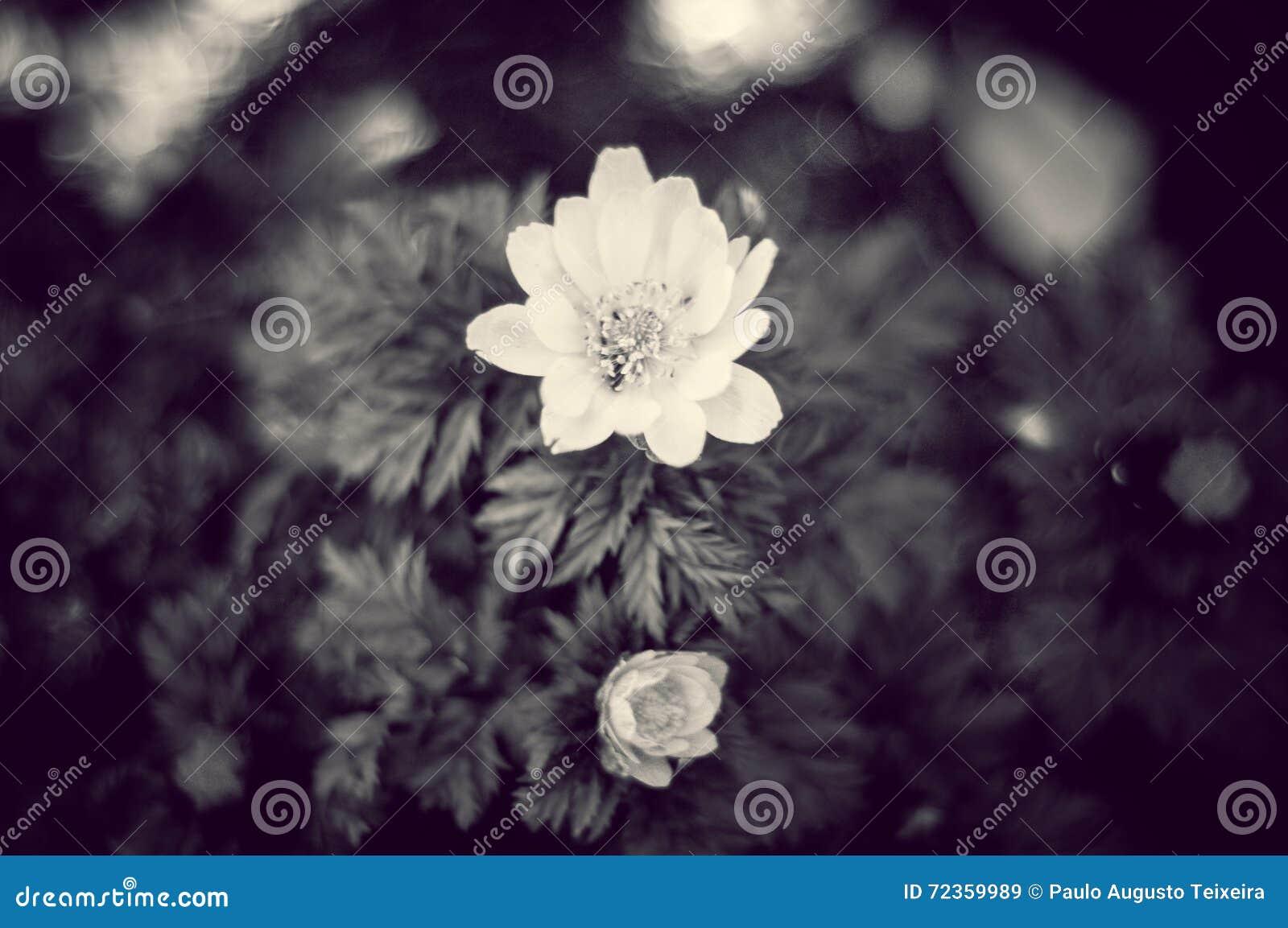 美丽的B&W花