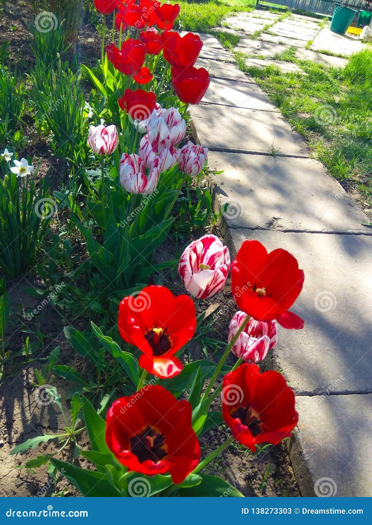 美丽,红色郁金香在庭院里