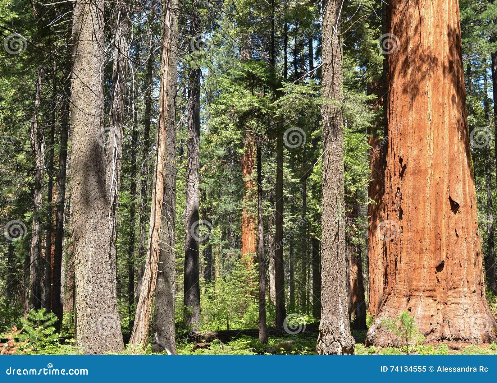 美国加州红杉树丛