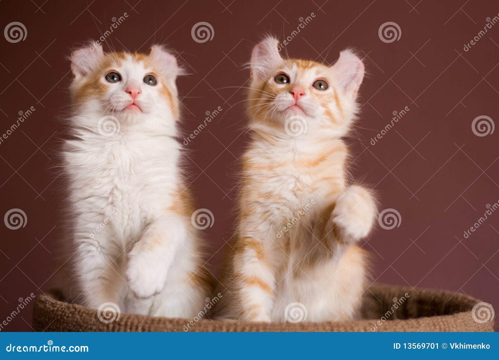 美国卷毛小猫