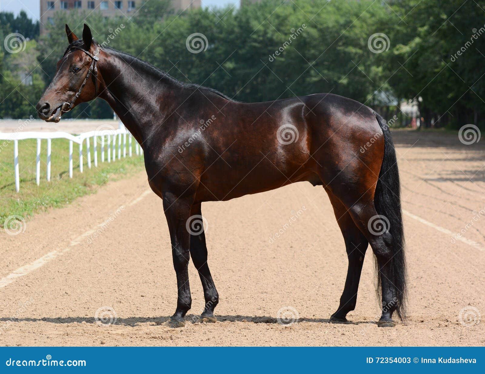 美国小跑步马品种公马