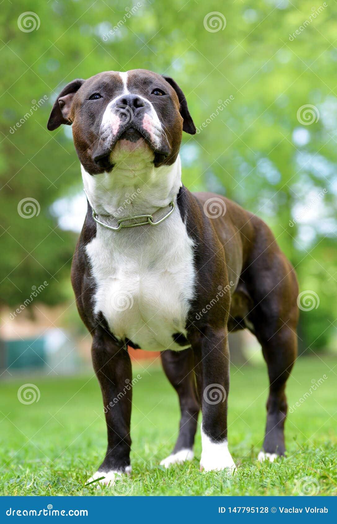 美国斯塔福德郡狗或amstaff或者stafford