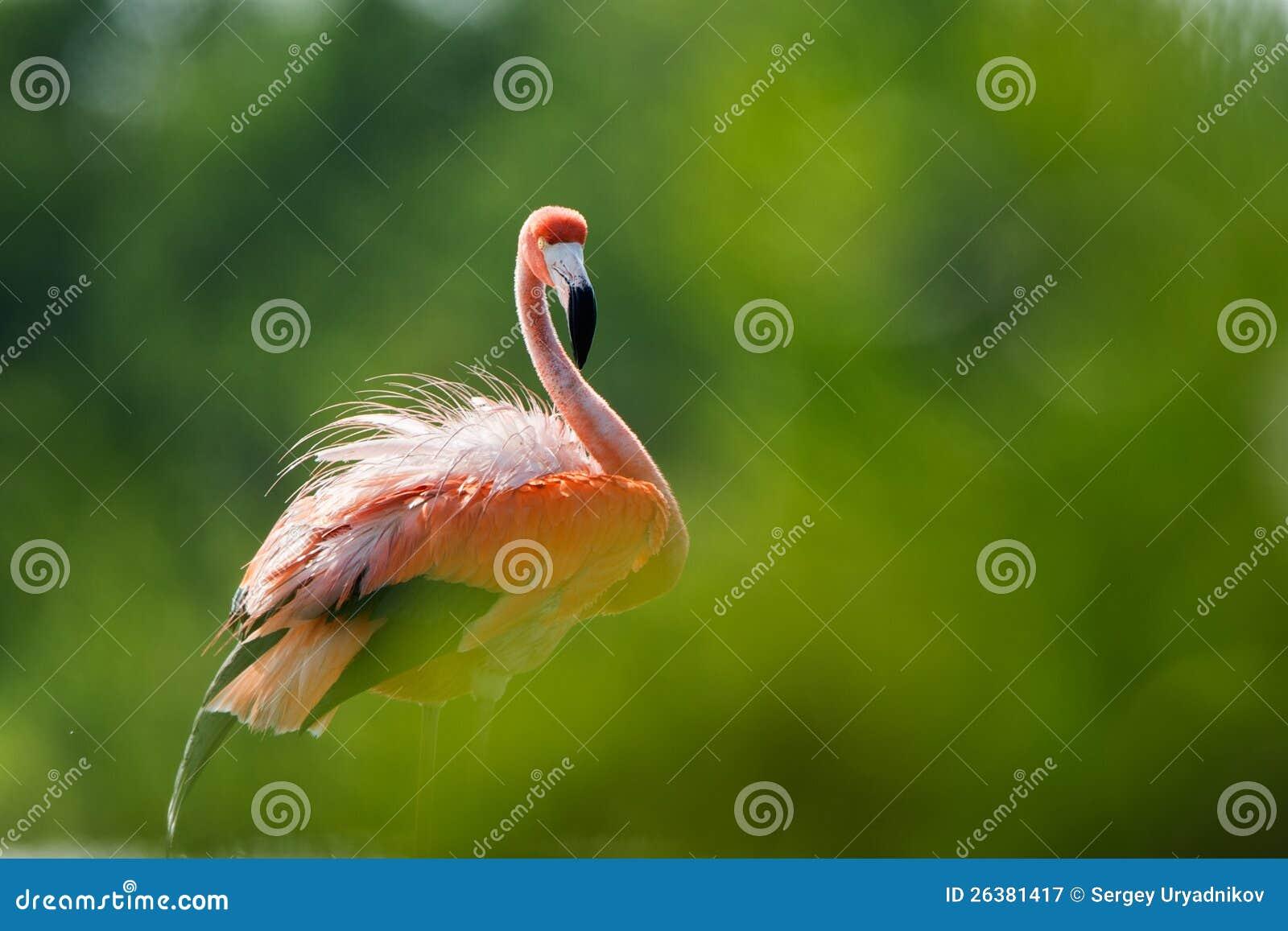 美国火鸟(Phoenicopterus ruber)