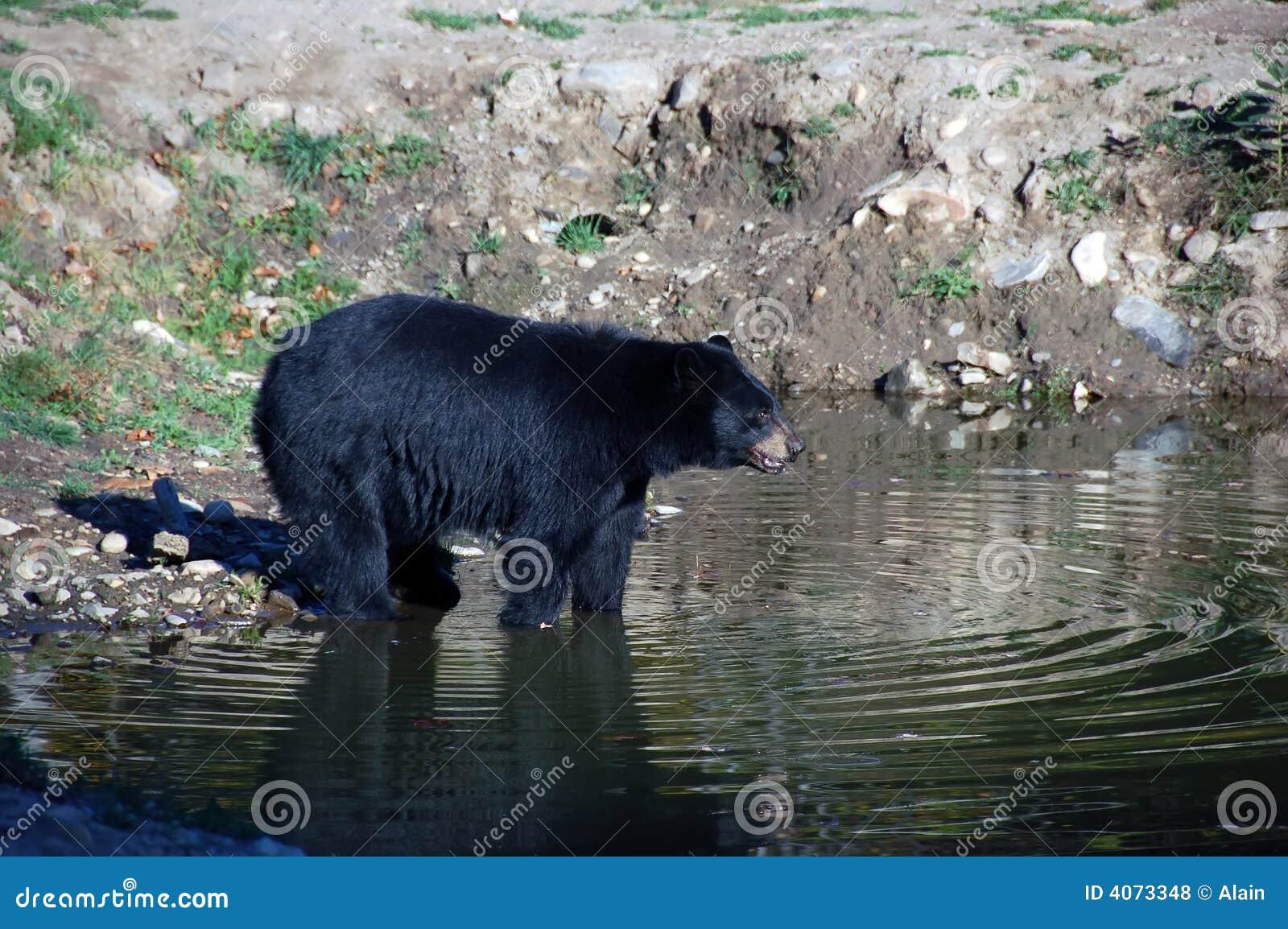 美国熊黑色