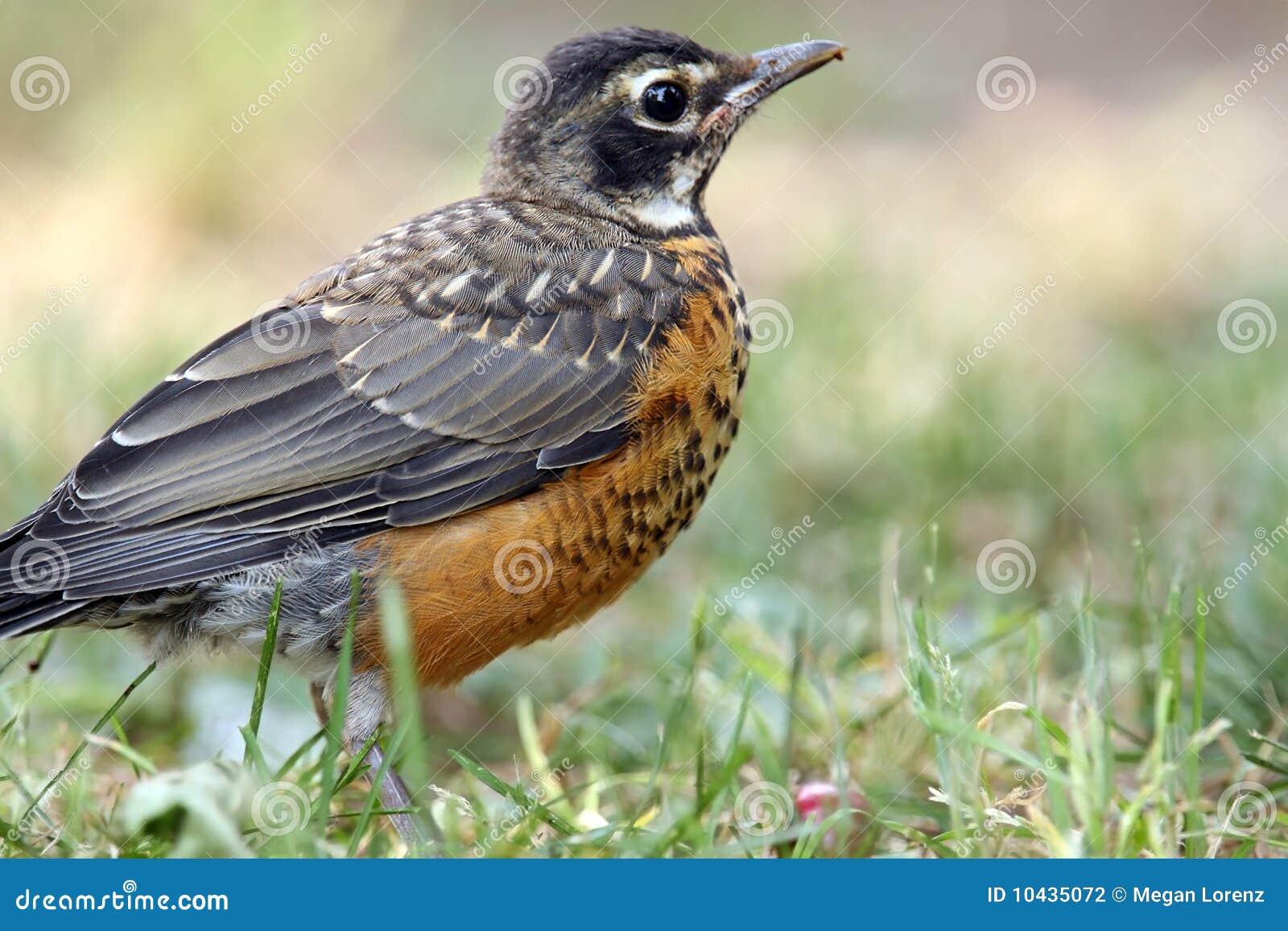 美国男人的鸟_美国背景被弄脏的特写镜头青少年知更鸟.