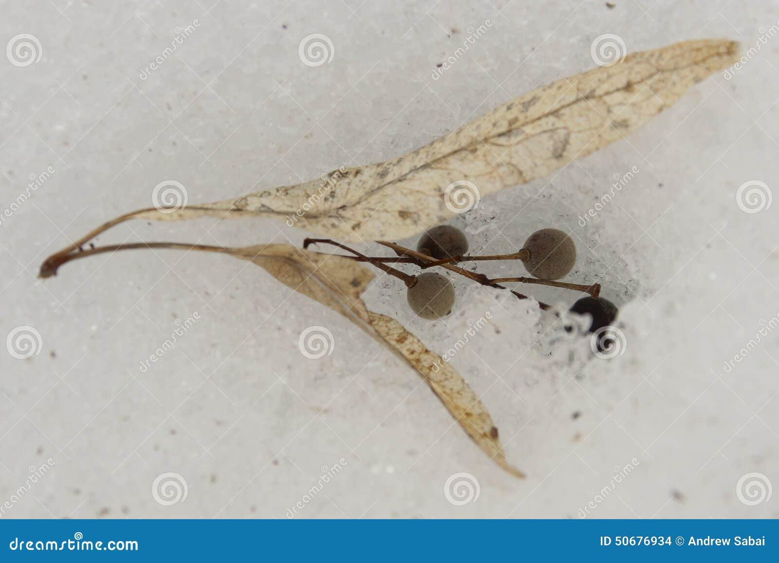 Download 美国美国鹅掌楸(美国的椴树属)种子 库存照片. 图片 包括有 本质, browne, 冬天, 大使职位, 种子 - 50676934