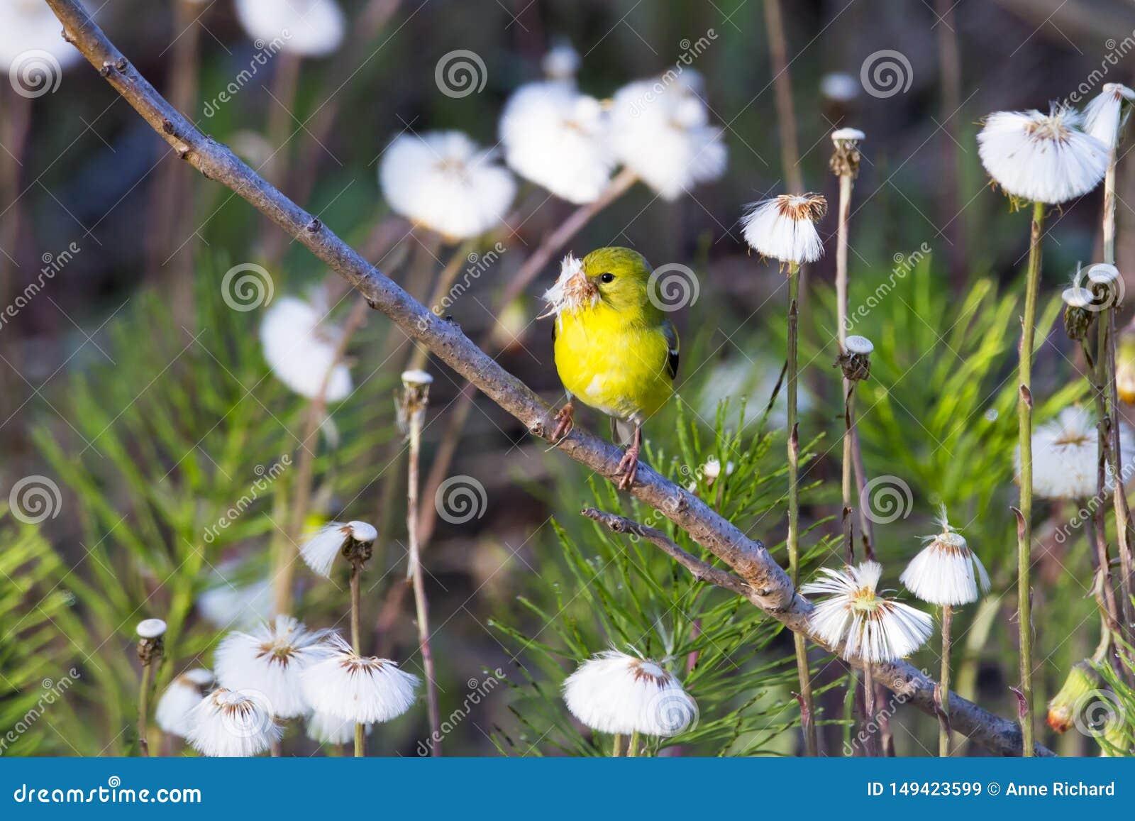 美国金翅雀看见与在它有额嘴的充满活力的黄色春天全身羽毛充分栖息的外形的头蒲公英种子