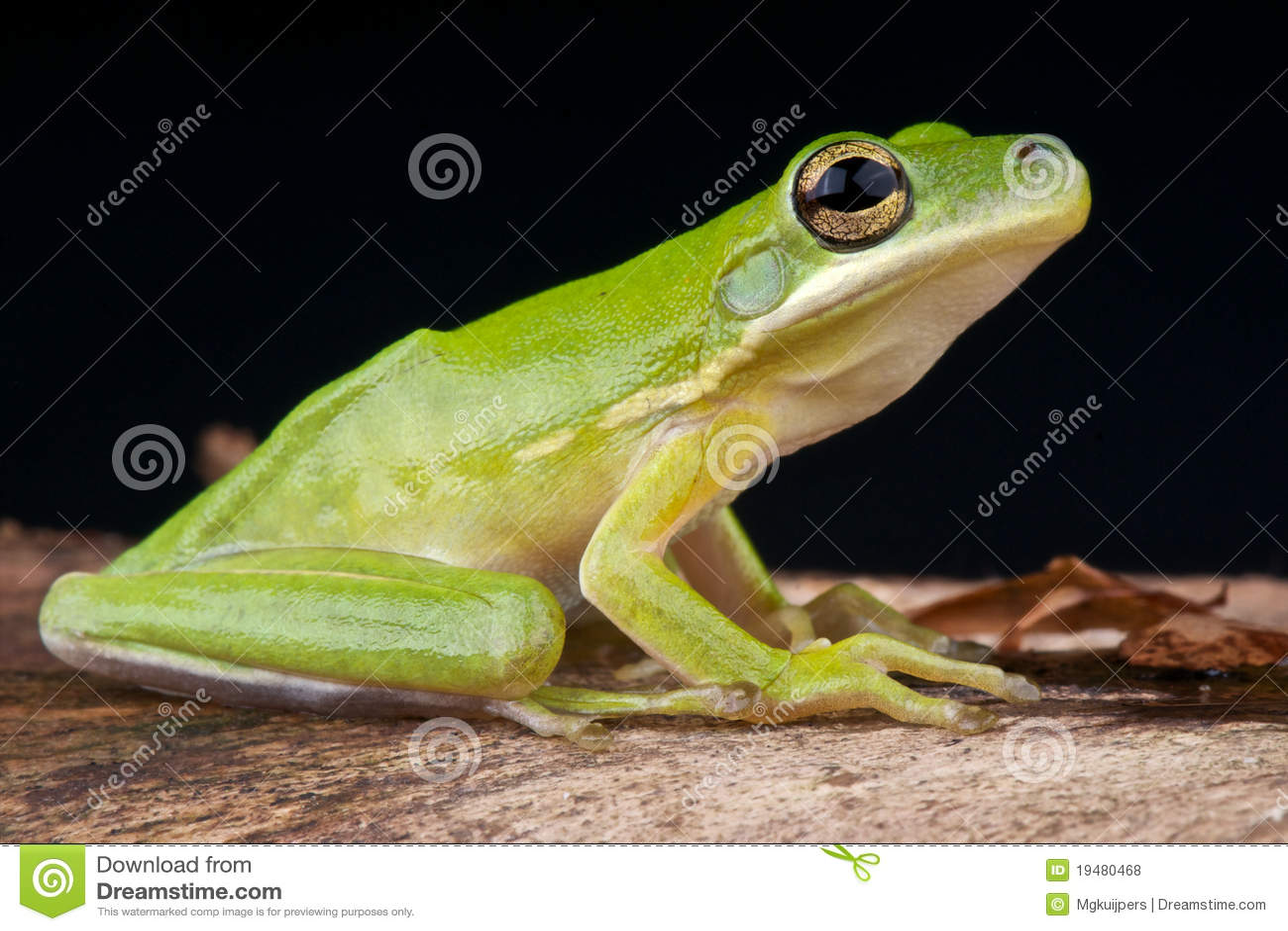美国青蛙绿色结构树