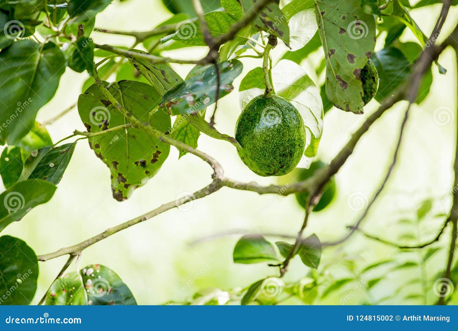美国鲕梨的鳄梨属是当地的对中南部的墨西哥的树,分类为开花植物fam的成员