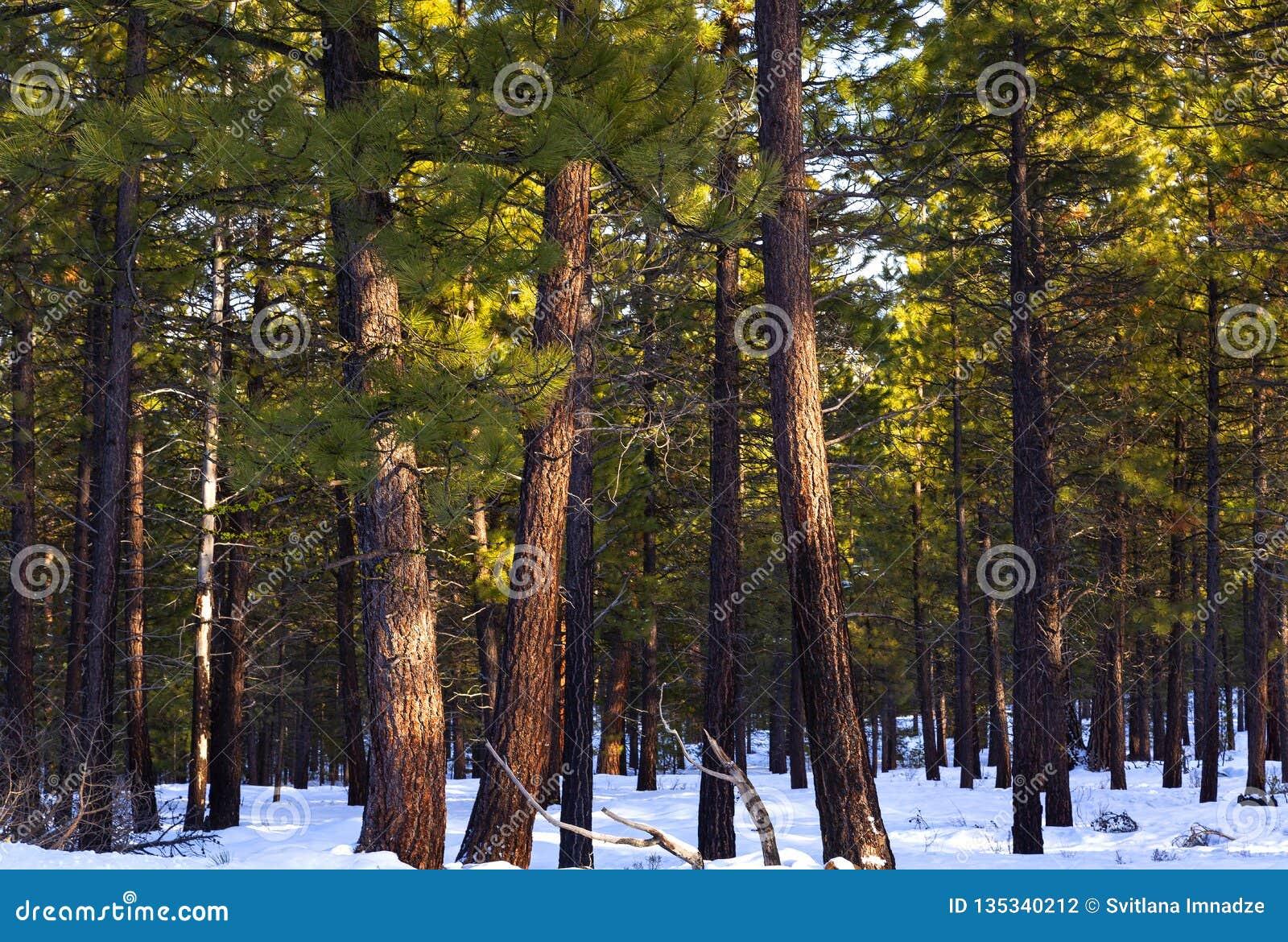 美国黄松在冬天