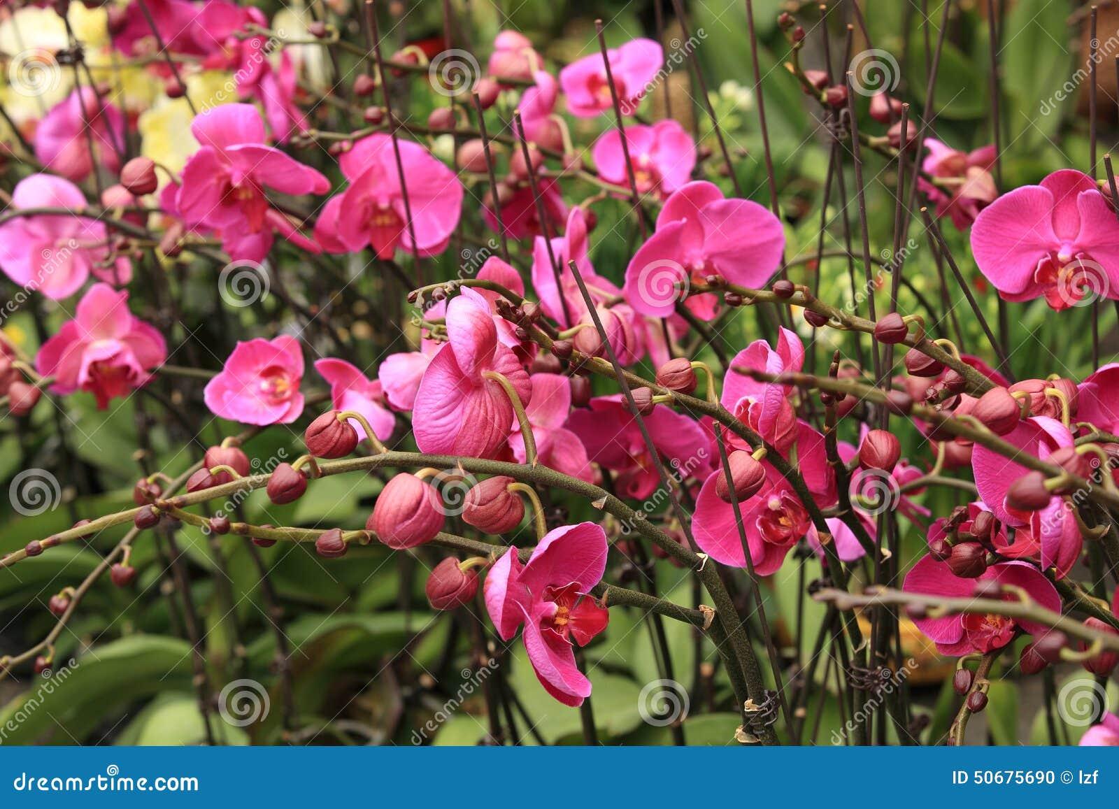 Download 美好的兰花兰花植物 库存照片. 图片 包括有 室外, 庭院, 蝴蝶, 胸衣, 投反对票, 杂种, 花卉, 绽放 - 50675690