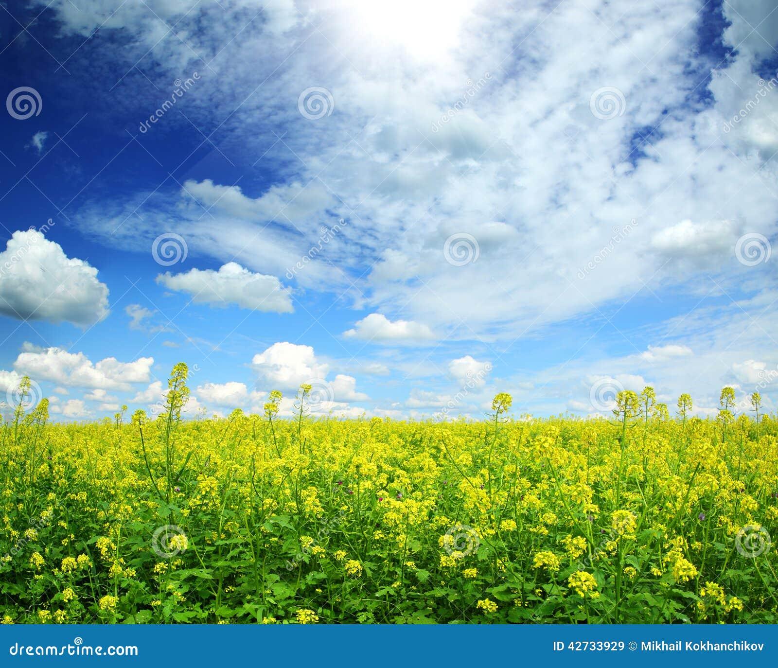 美好的开花的油菜籽领域在蓝天下