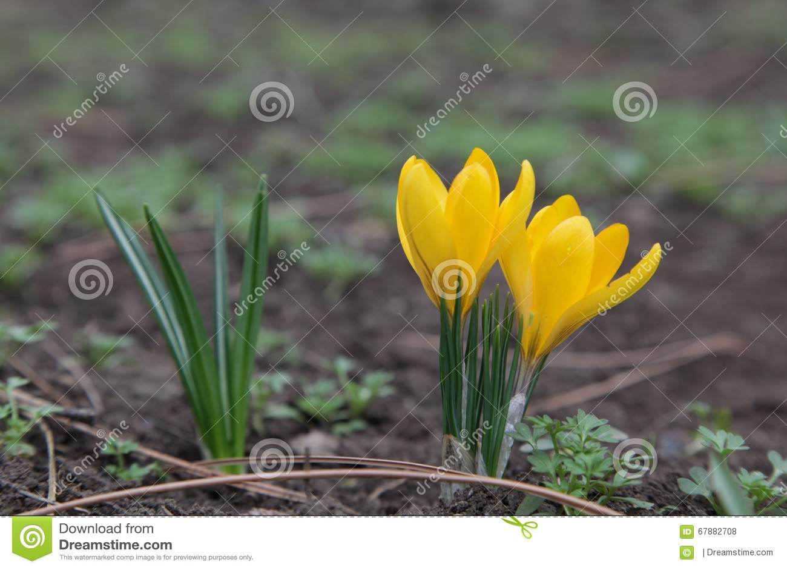 美好的春天开花番红花黄色