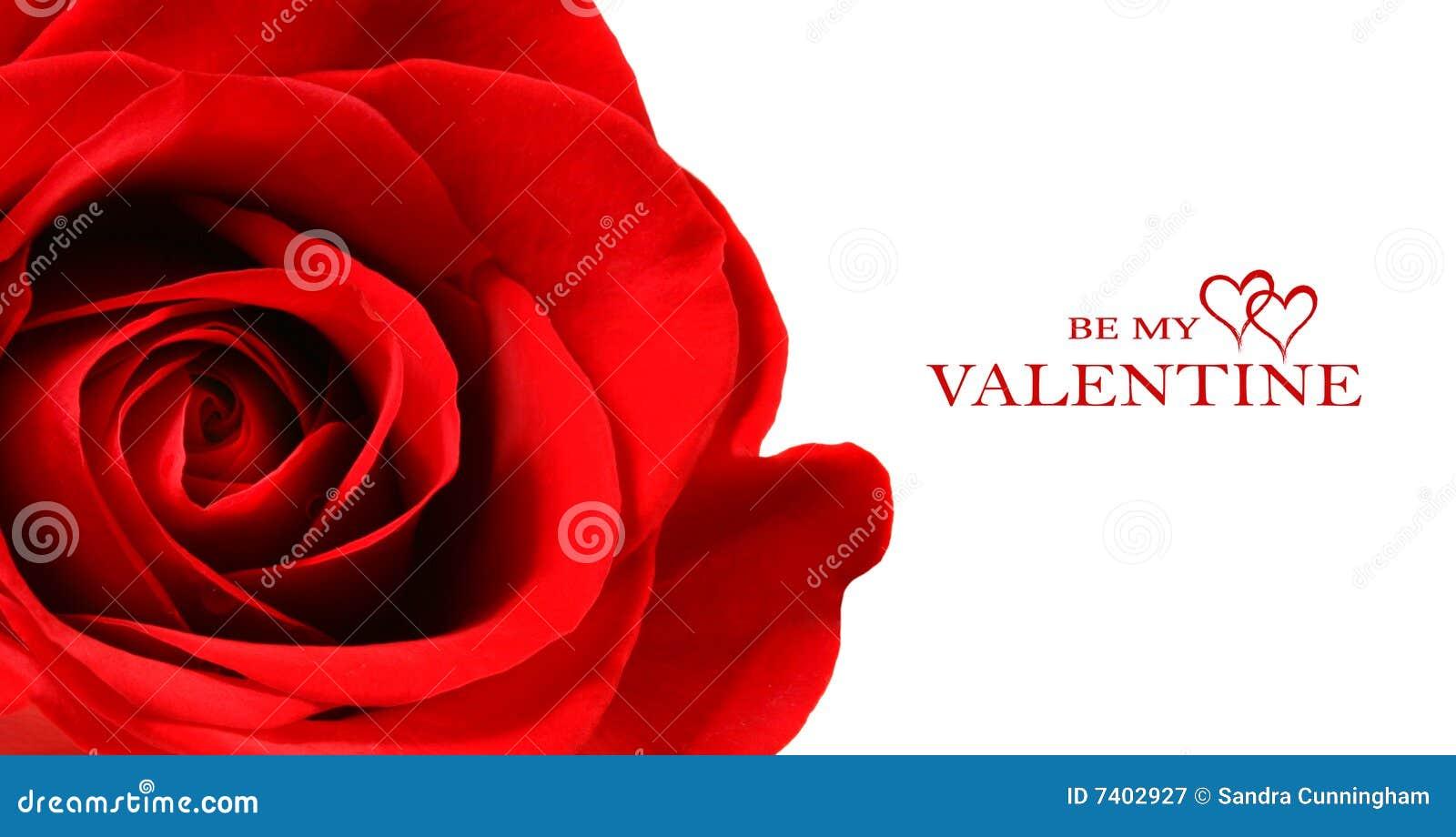 美好的查出的红色玫瑰白色