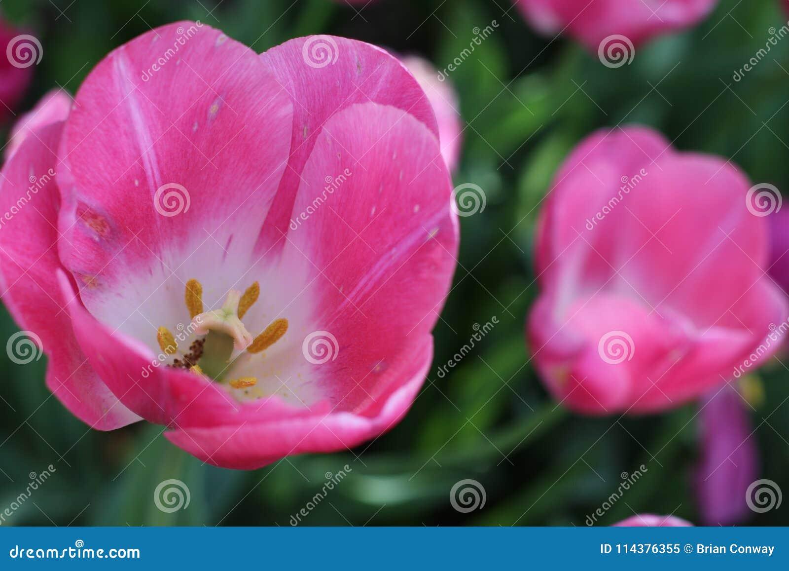 美好的桃红色春天郁金香绽放
