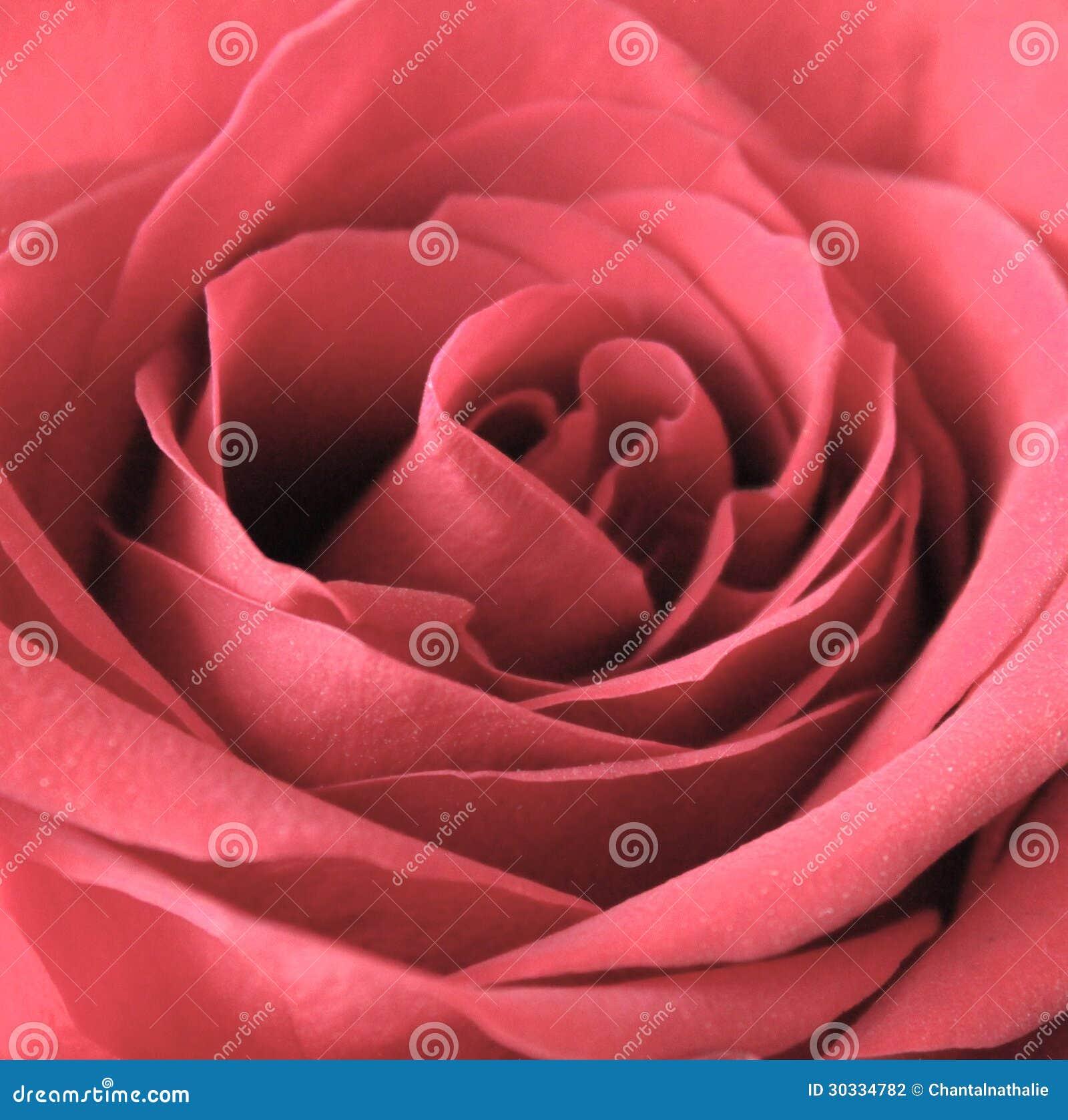 红色玫瑰关闭