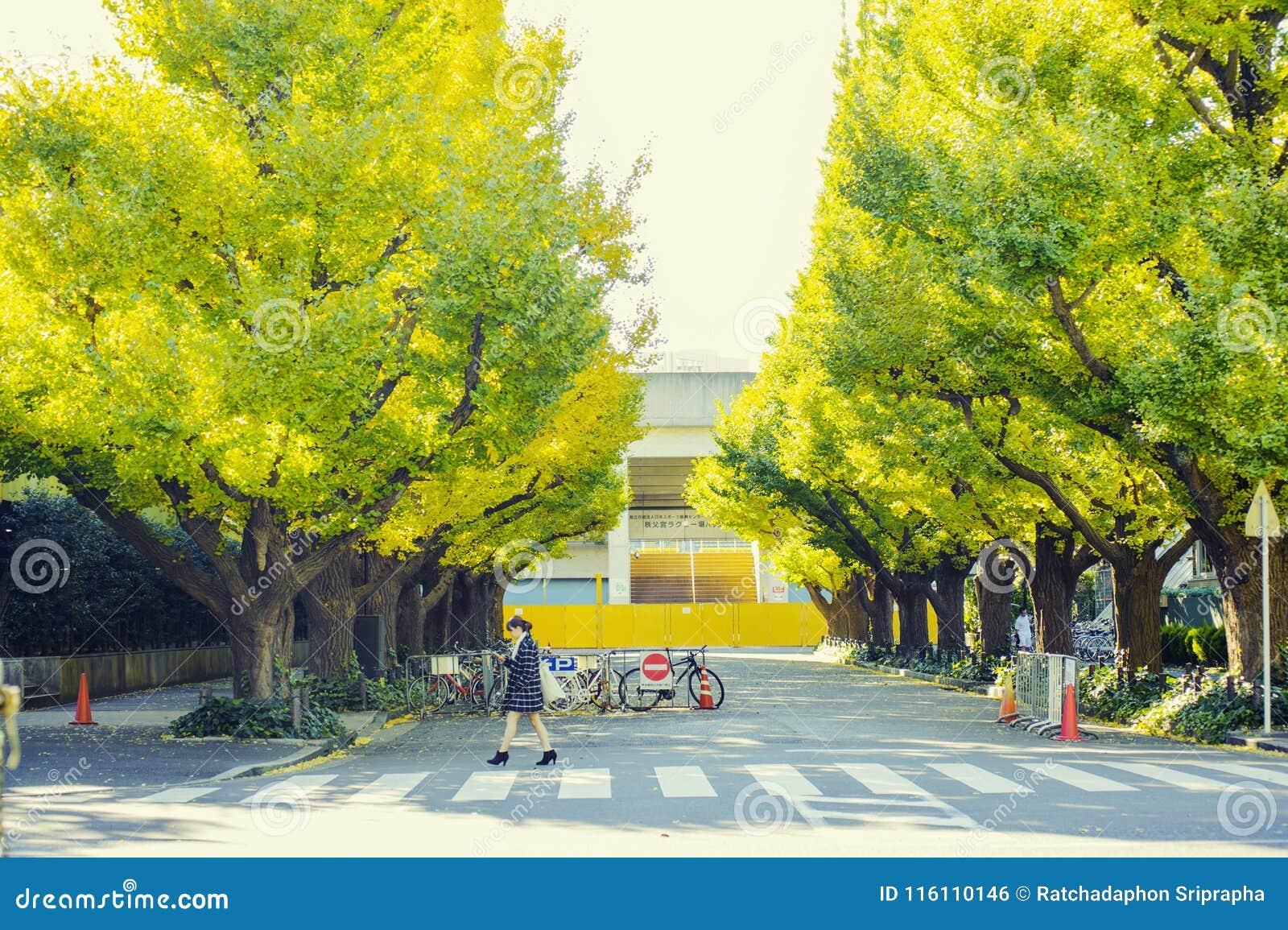 美好的秋天背景,在meiji jingu shirine的Ginkyo树