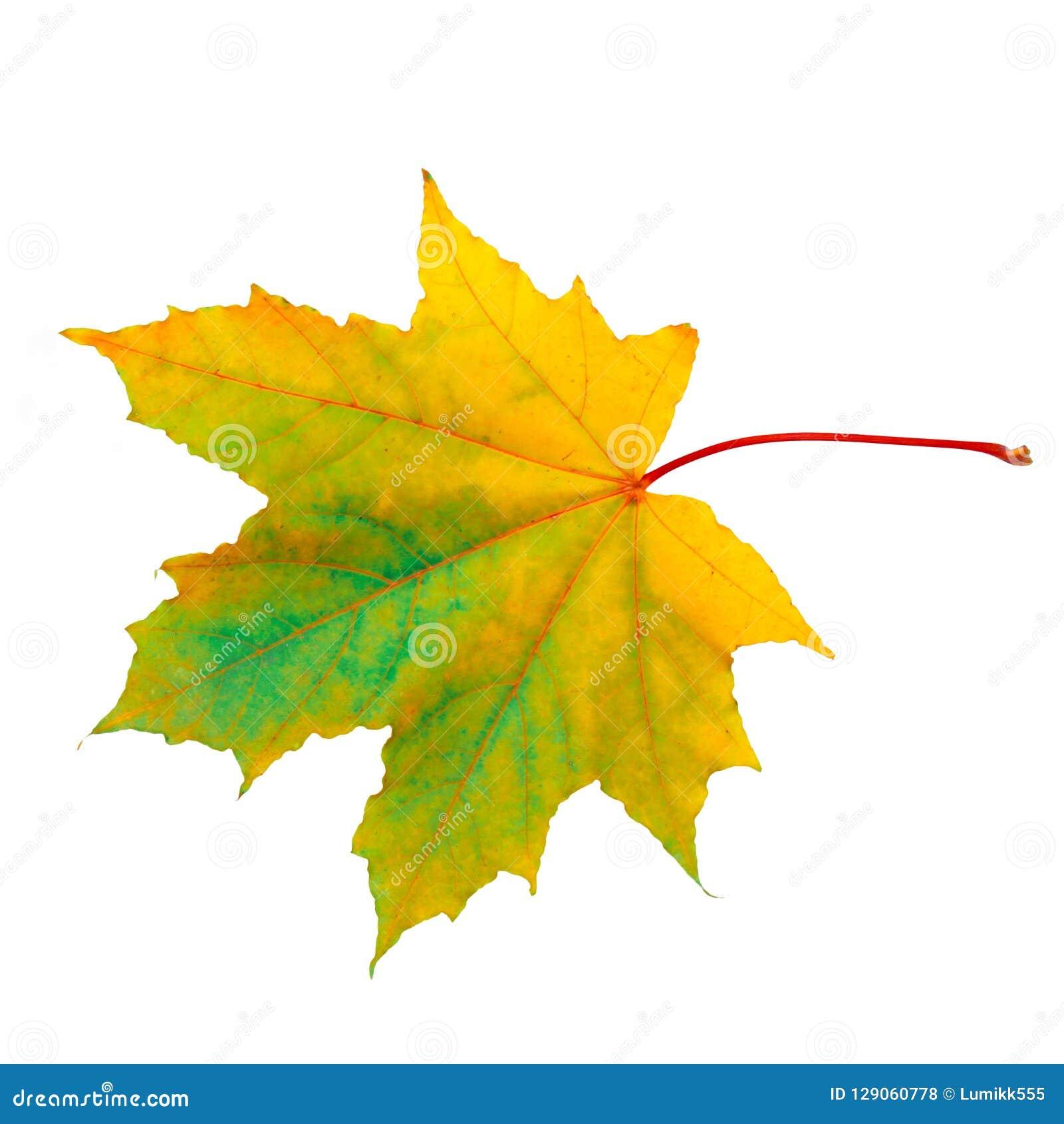 美好的自然秋天唯一枫叶宏指令