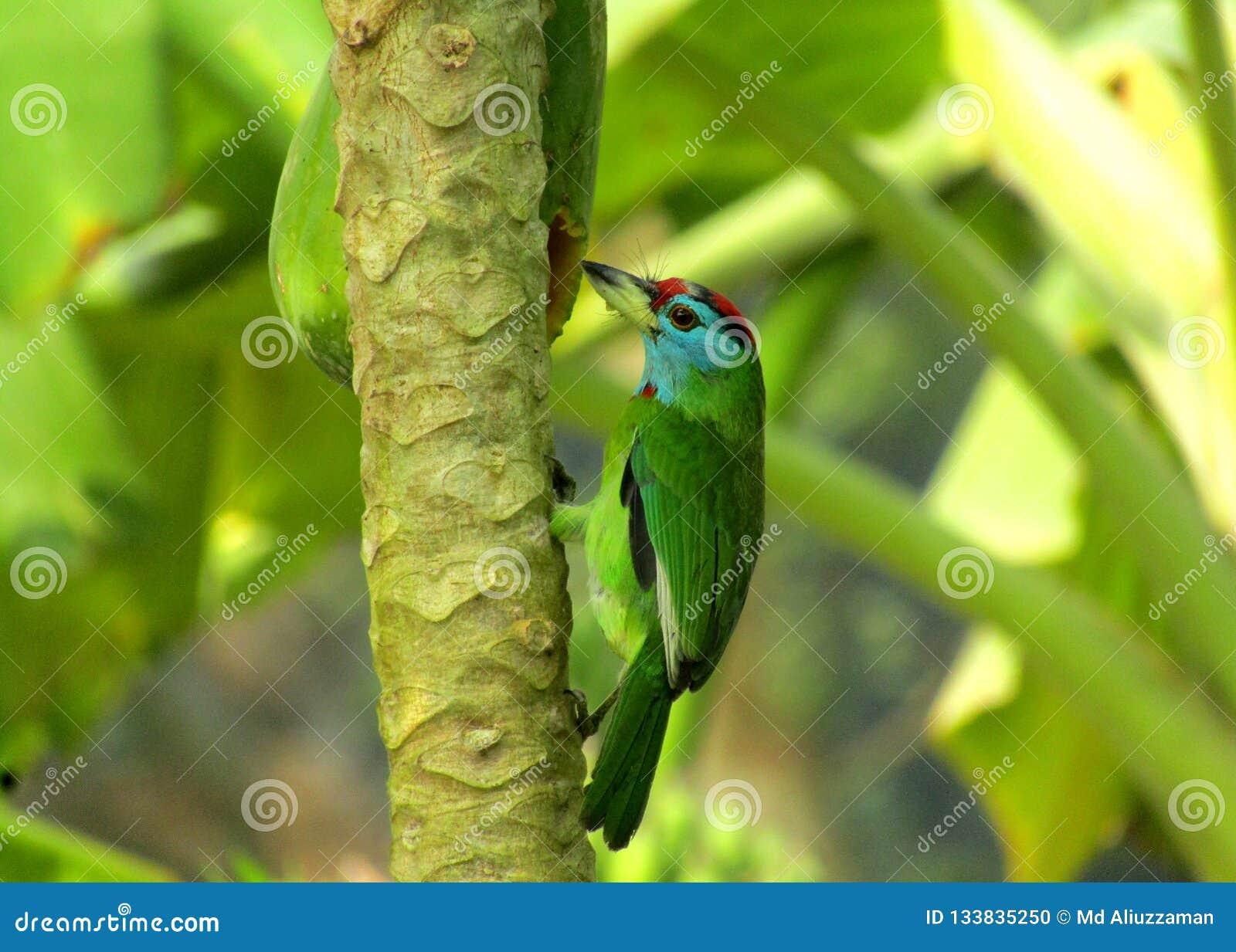 美好的蓝色红喉刺莺的barbiet