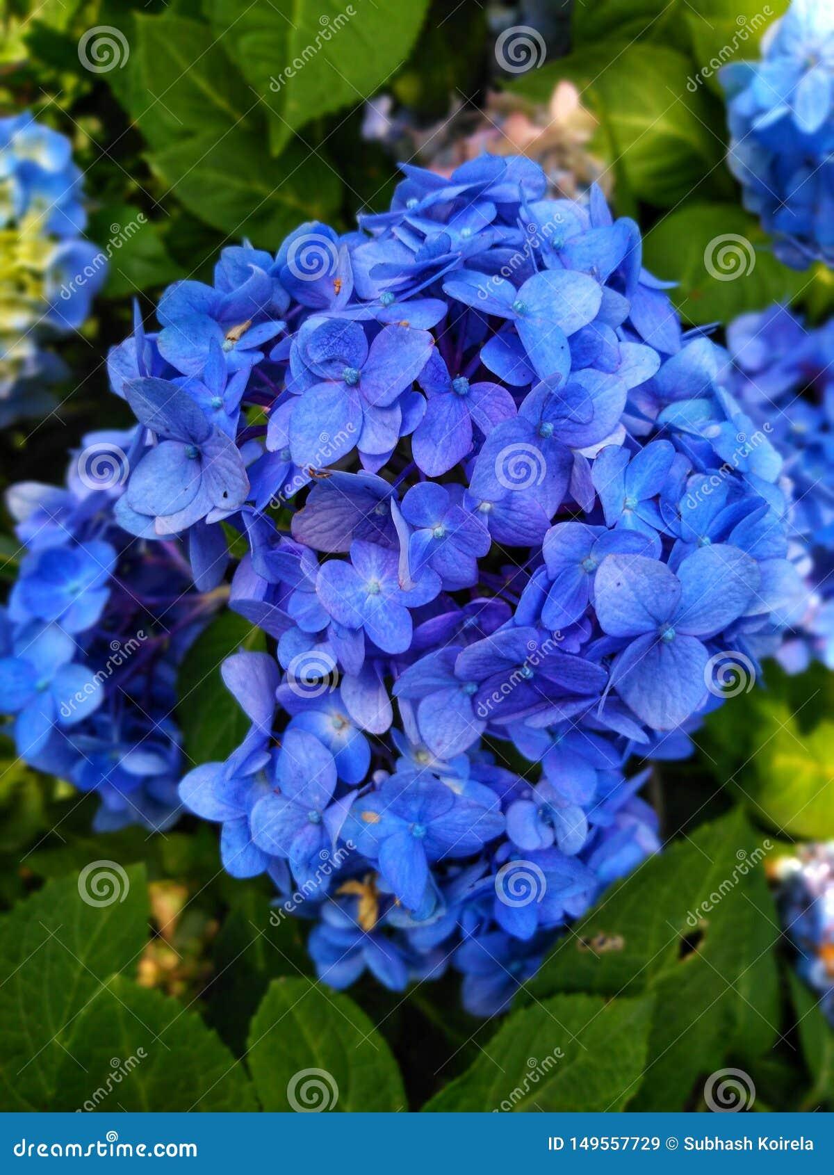 美好的蓝色花墙纸图象,庭院蓝色花照片在印度