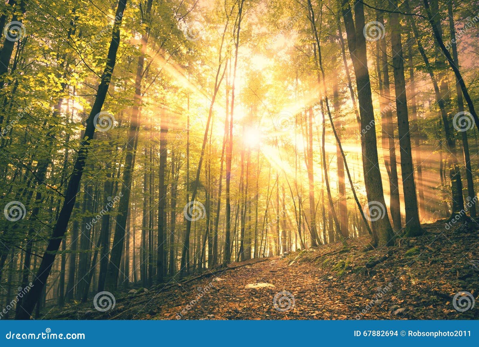 美好的金黄红色阳光在有雾的森林里
