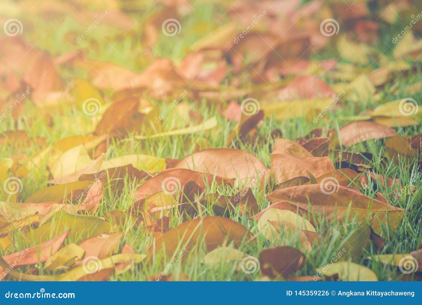 美好的风景在秋天在绿草草甸领域下落的季节性干叶子在公园