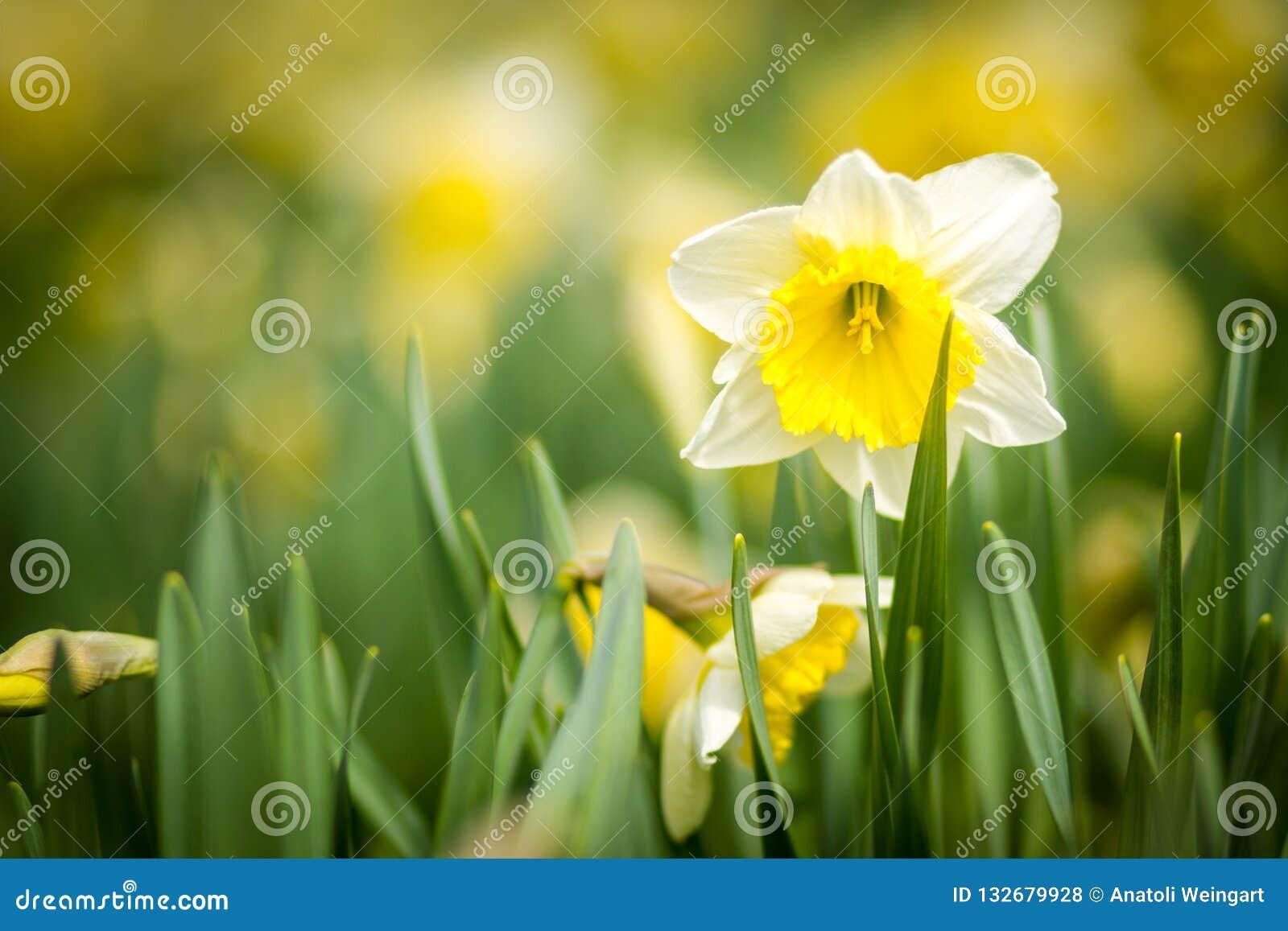 美好的黄水仙黄色