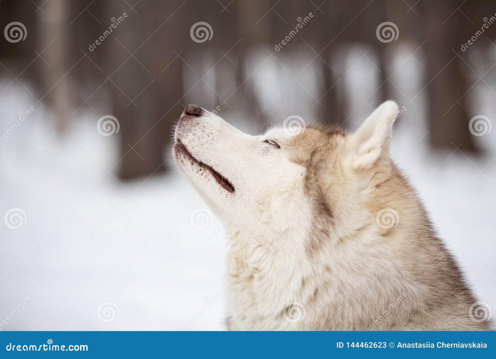 在雪道路的美好,逗人喜爱和愉快的西伯利亚爱斯基摩人狗身分在冬天森林里