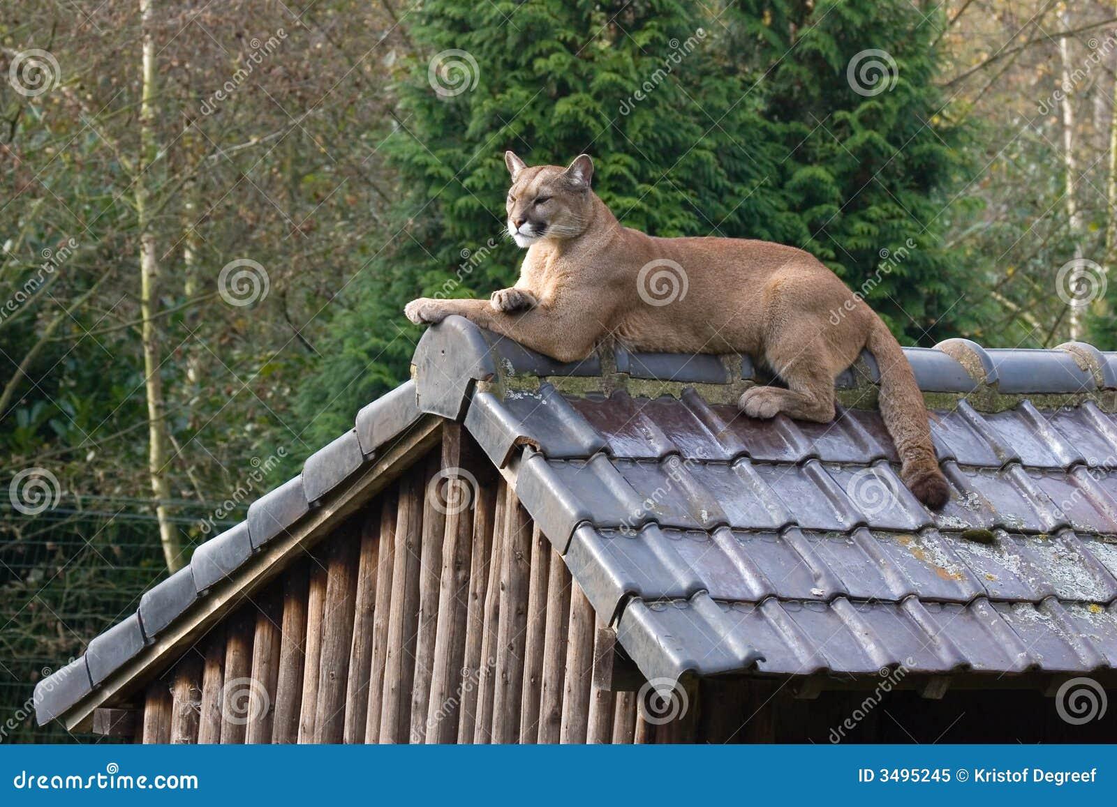 美洲狮屋顶