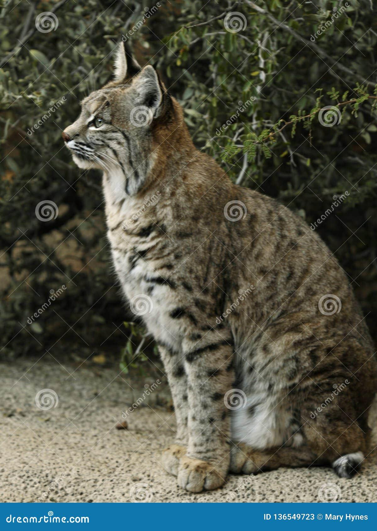 美洲野猫供以座位的,充分的外形有绿色背景