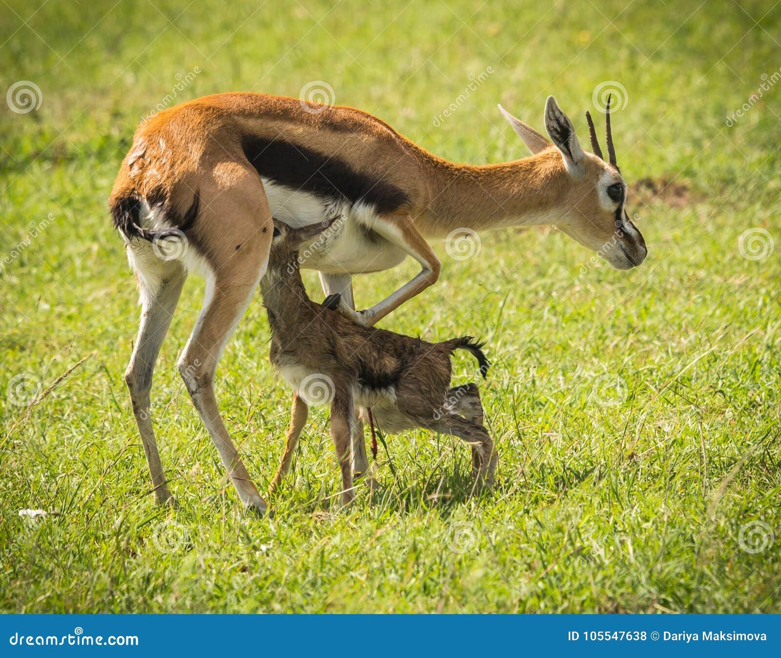 羚羊汤普森和她马塞语的玛拉,肯尼亚新出生的婴孩