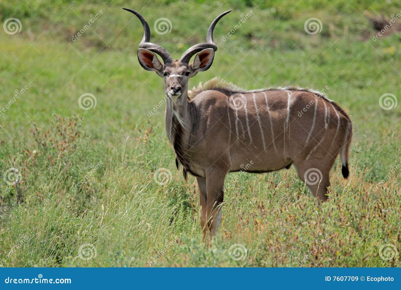 羚羊kudu