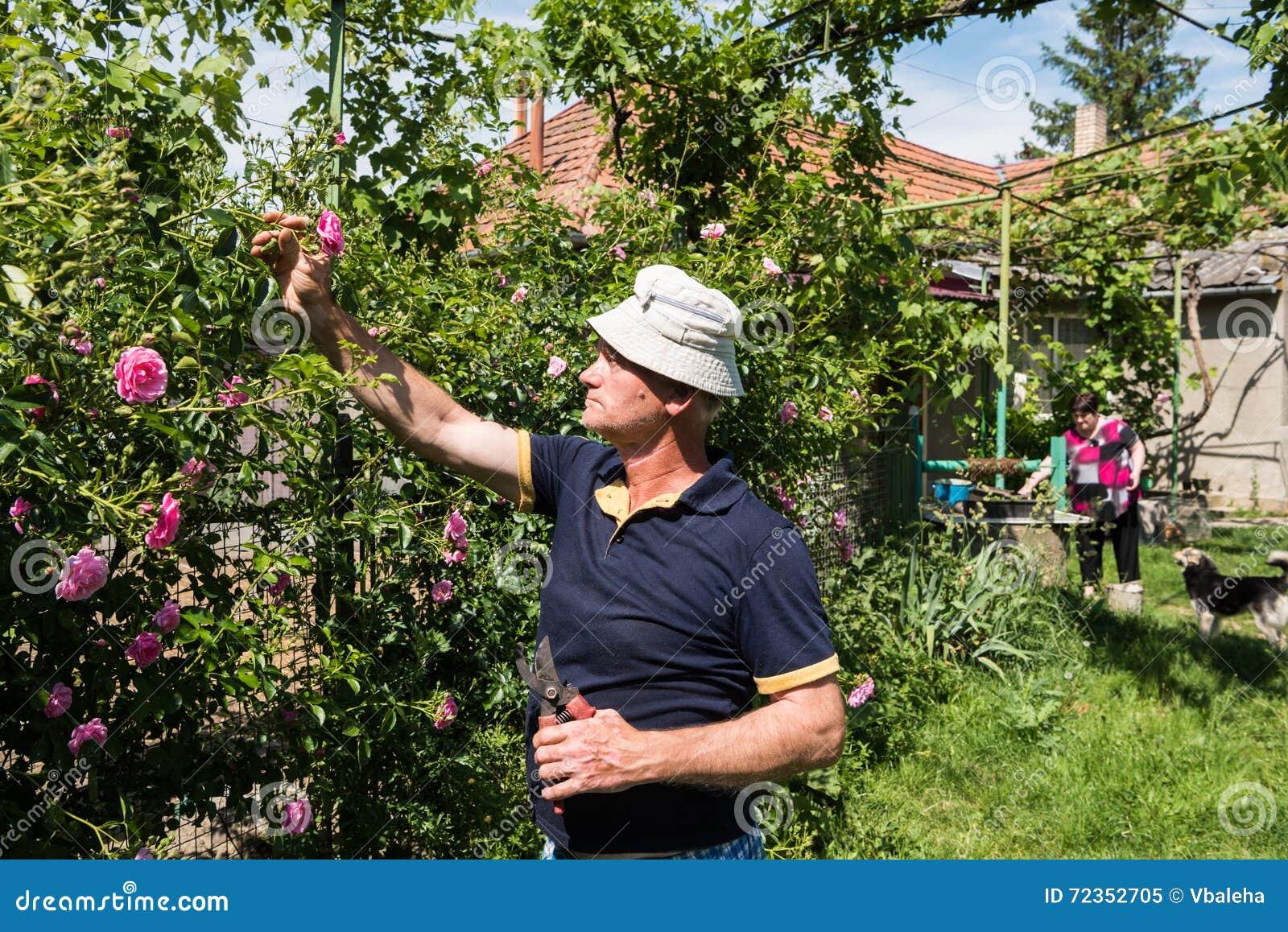 老人切口玫瑰