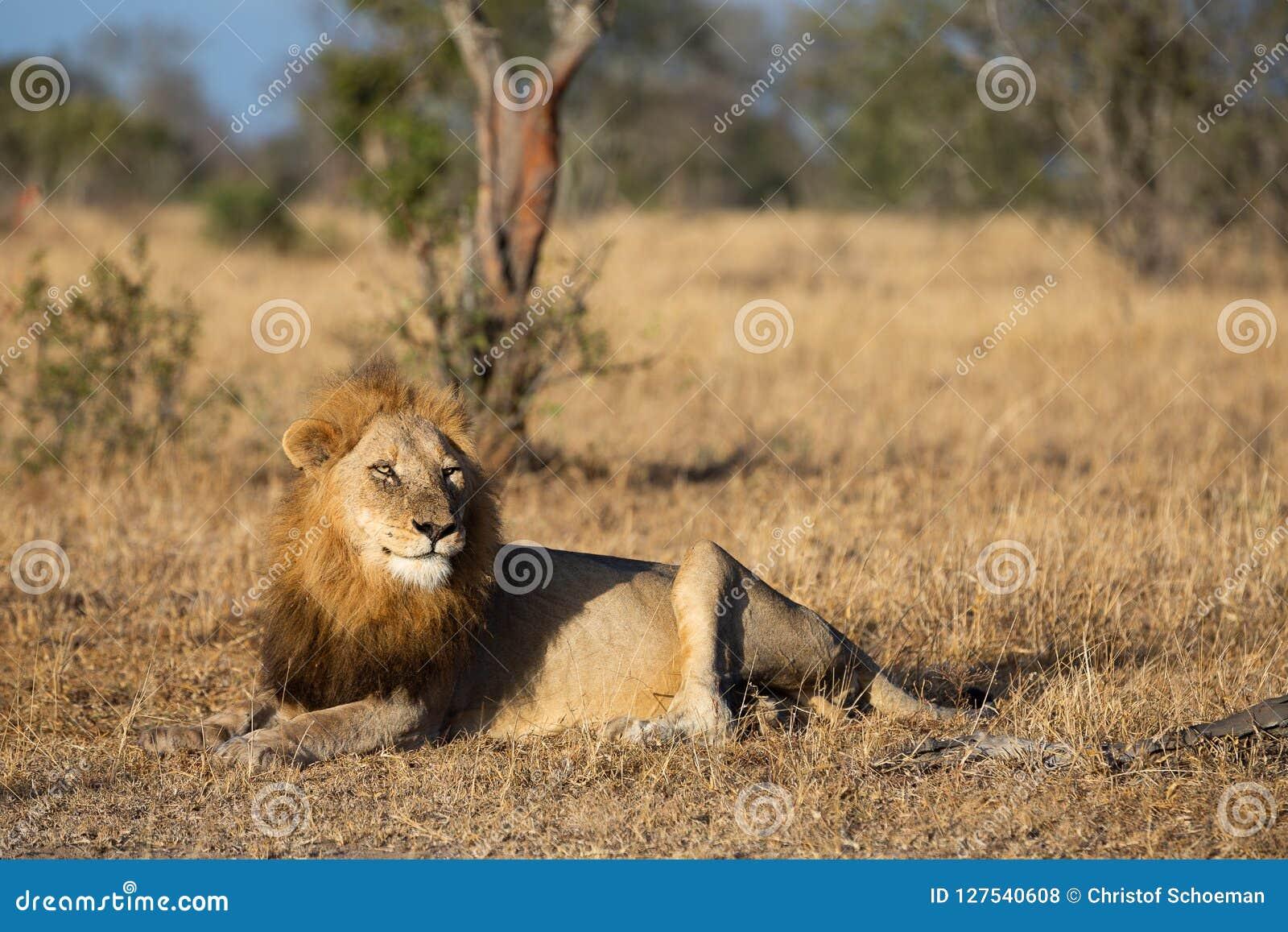 老公狮子观看的鬣狗紧密在清早之前